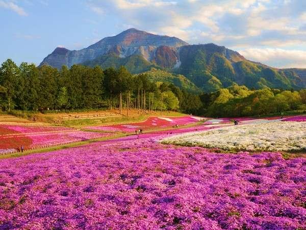 【羊山公園・芝桜の丘】見頃:例年4月中旬~5月初旬。