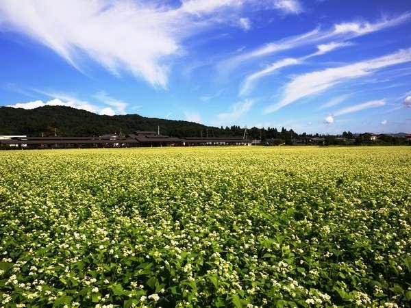 【そば畑】そばの花は、春と秋の1年に2回咲きます。秩父はそばの里!