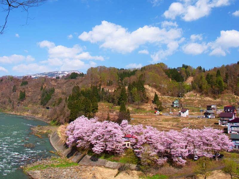 ~春~ 桜に囲まれた信濃川河畔の一軒宿