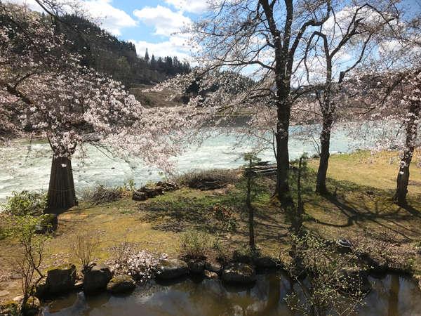 庭の桜が見頃です