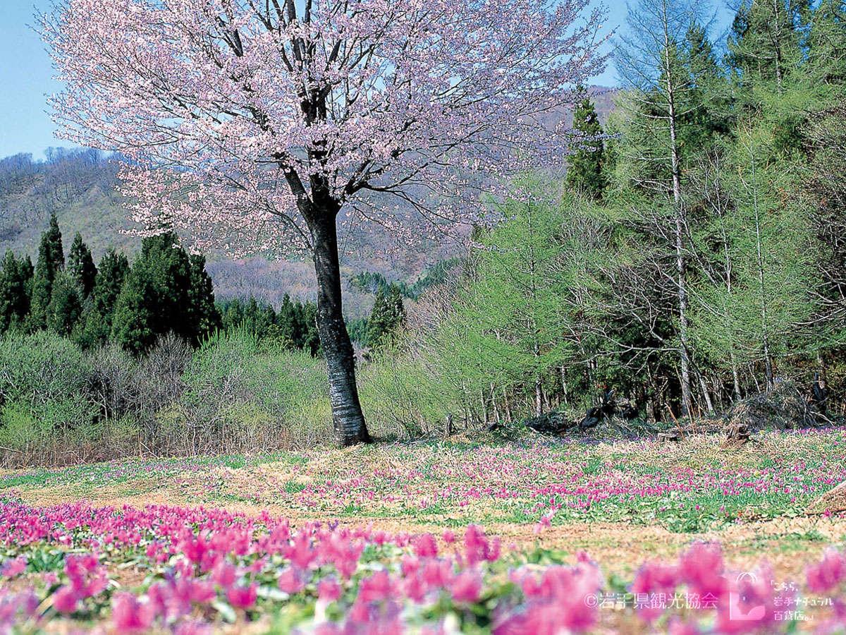 *【カタクリ】4月下旬~5月上旬が見頃。春の訪れに桜と共に観られます。