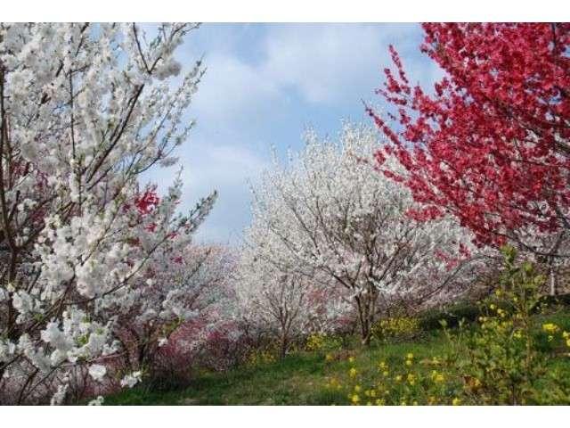 仁淀川町上久喜地区は桃の花の国 上久喜地区はゆの森から車で約20分です