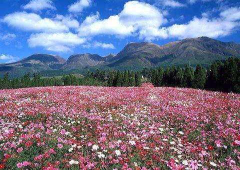 秋のくじゅう花公園コスモスが咲きほこります。