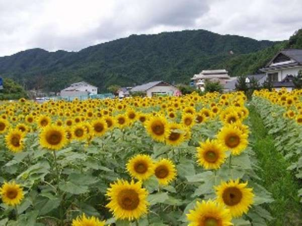 【道の駅信州平谷】当館より車で30分道の駅では夏【ひまわり】が咲き乱れます。