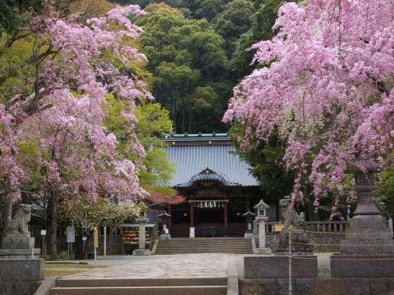 『伊豆山神社のしだれ桜』(ホテルから徒歩約10分)       見頃は3月下旬