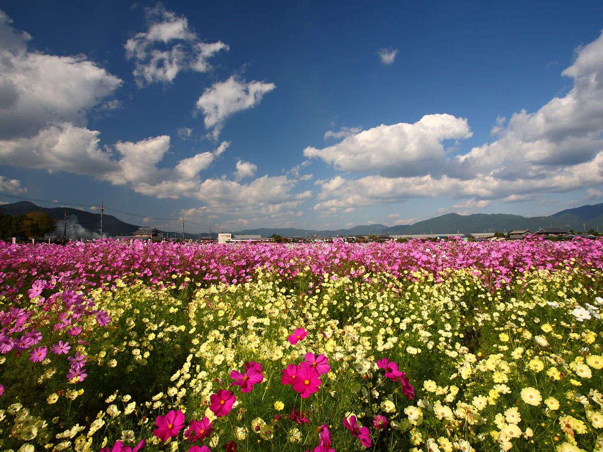 秋になると満開になる「夢コスモス園」。すみや亀峰菴から車で約10分。