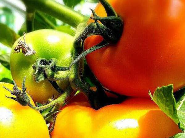 自家農園栽培の野菜をご提供