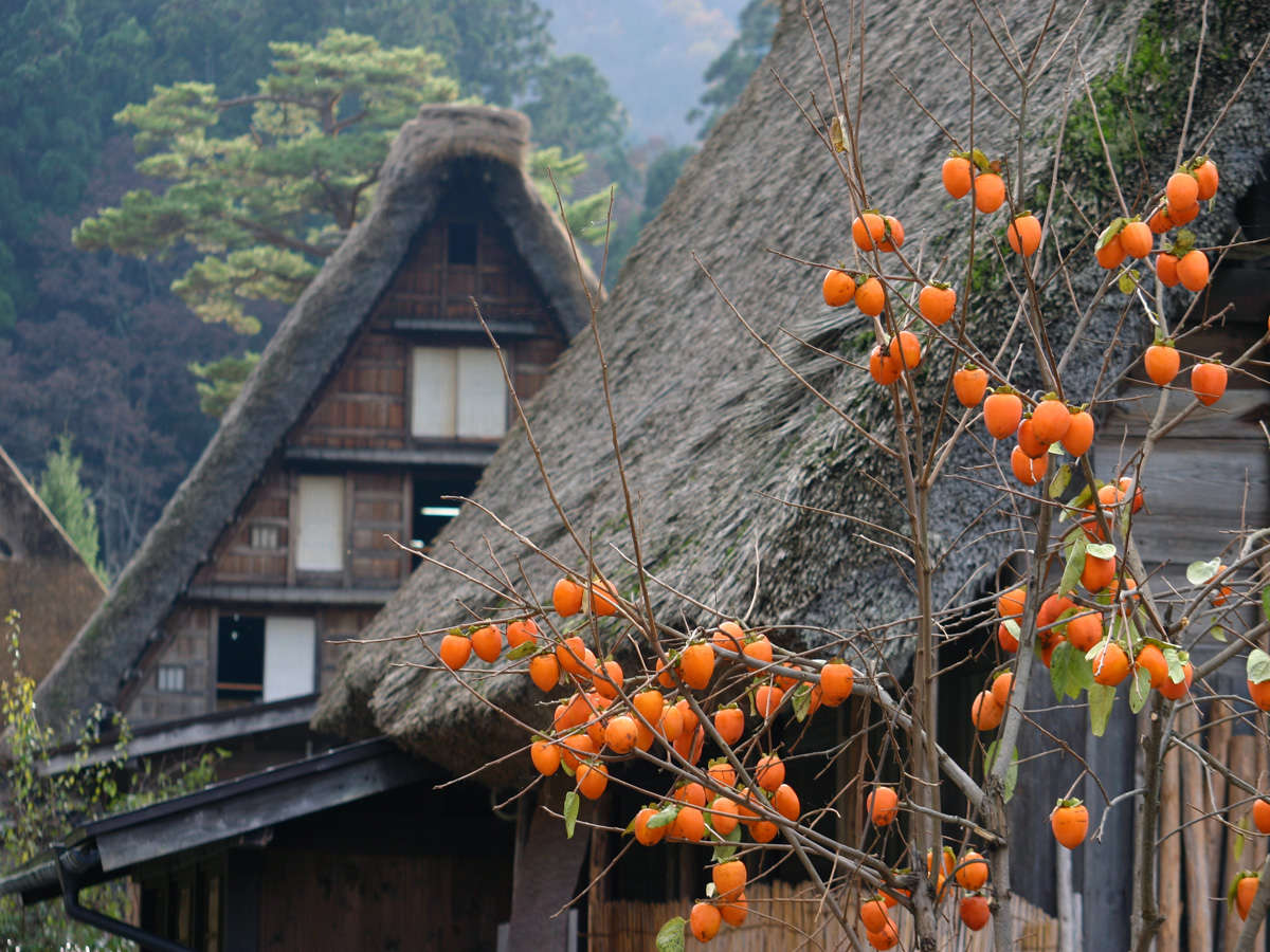 【秋季】柿の木をはじめ、各所で実を付けます。実りの秋は風情ある合掌造り集落が楽しめます。