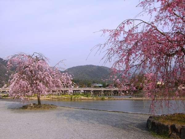 ☆弊亭すぐそばの中ノ島公園から見る紅枝垂れ桜と小倉山。絵になります!