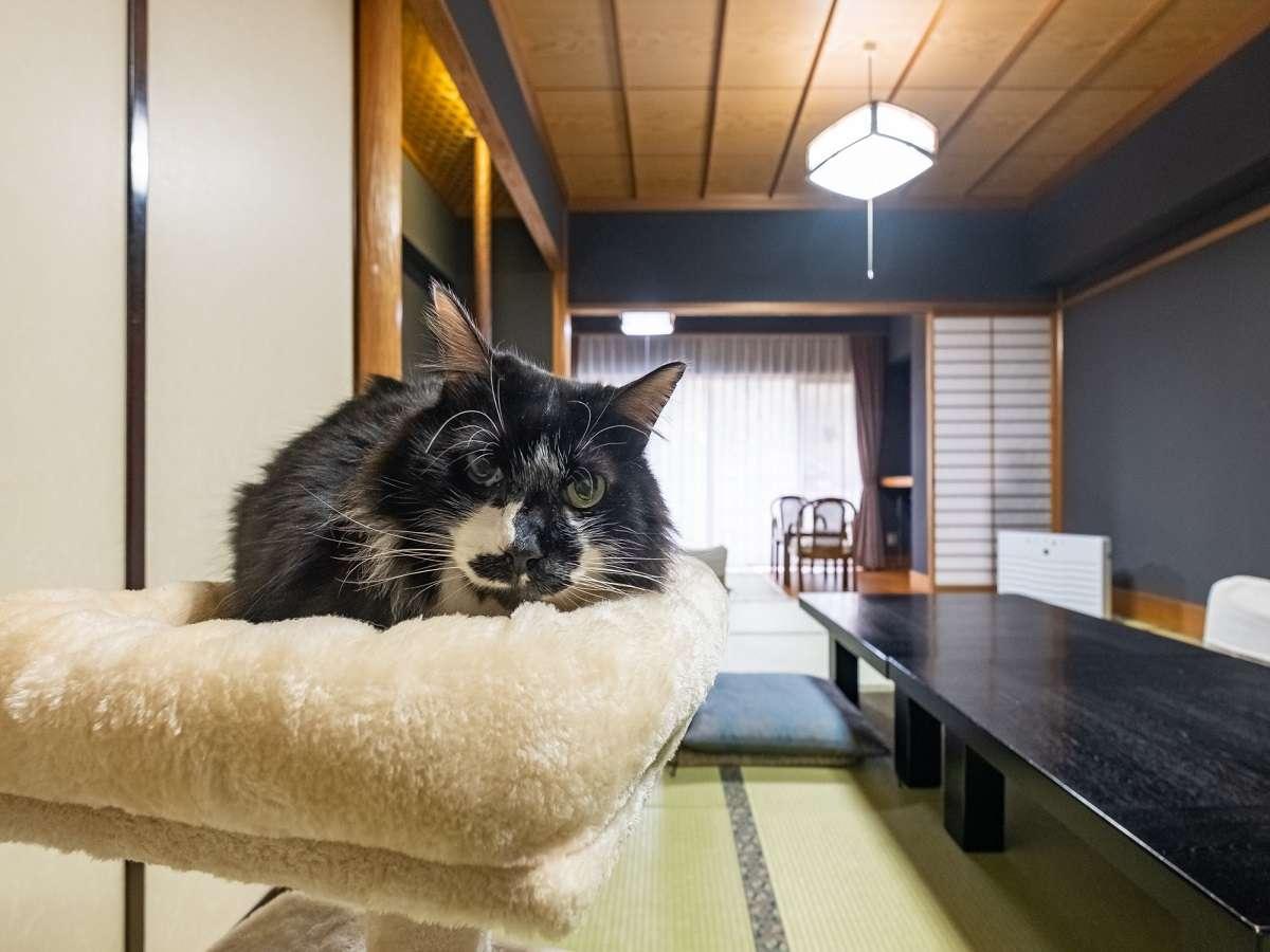 【じゃらん限定猫プラン】キャットタワーとおもちゃ付き広い和室でお部屋食!1部屋2匹まで
