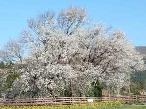 南阿蘇村の一心行の大桜「3月下旬~4月上旬開花」ホテルから車で40分♪