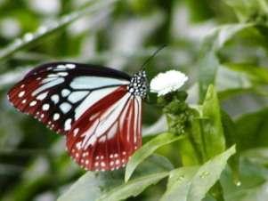 2000kmを旅する美蝶 アサギマダラ