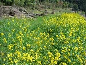 春の訪れを思わせる菜の花