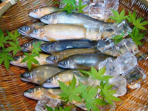 【相模川の鮎】古くから「あゆ川」と呼ばれ全国の太公望が集います