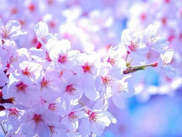 ぎん月から徒歩20分 諏訪随一の桜の名所 水月公園 時期には屋台も出ます。