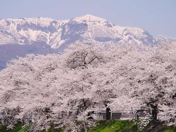 勝山弁天桜 残雪×桜のコントラストは見事!
