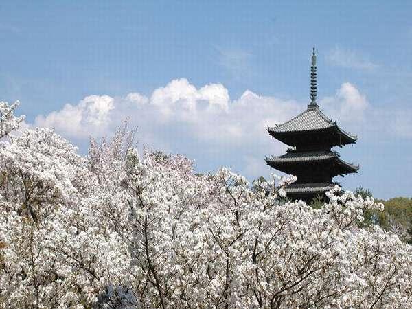 【御室桜】背丈が2~4㍍ほどの里桜。総称して「御室桜」と呼ぶ。大正13年に国の名勝に指定されている。