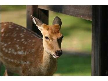 <奈良公園の鹿>国の天然記念物。約1200頭います。人懐っこい鹿たちが多いです♪
