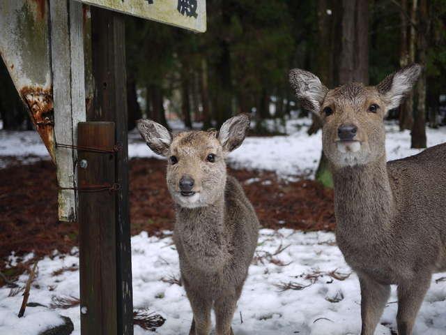 <奈良公園>雪の奈良公園にいる鹿たち