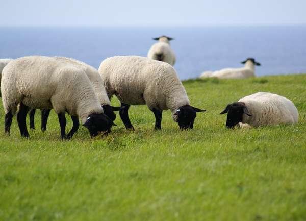 島の南側にひろがる羊牧場