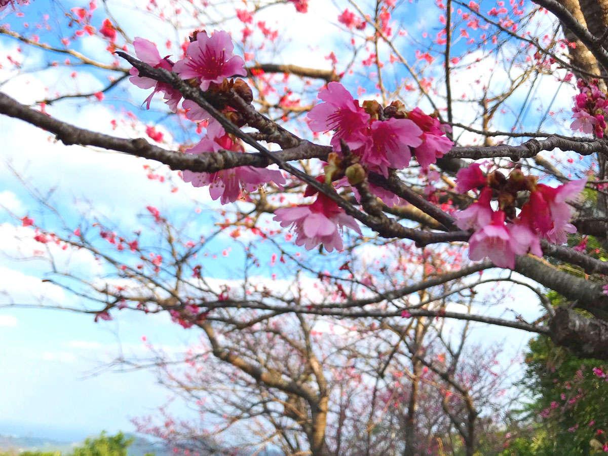 日本一の早咲きの八重岳の桜