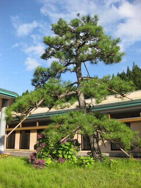 当館のシンボル松の木がお出迎え