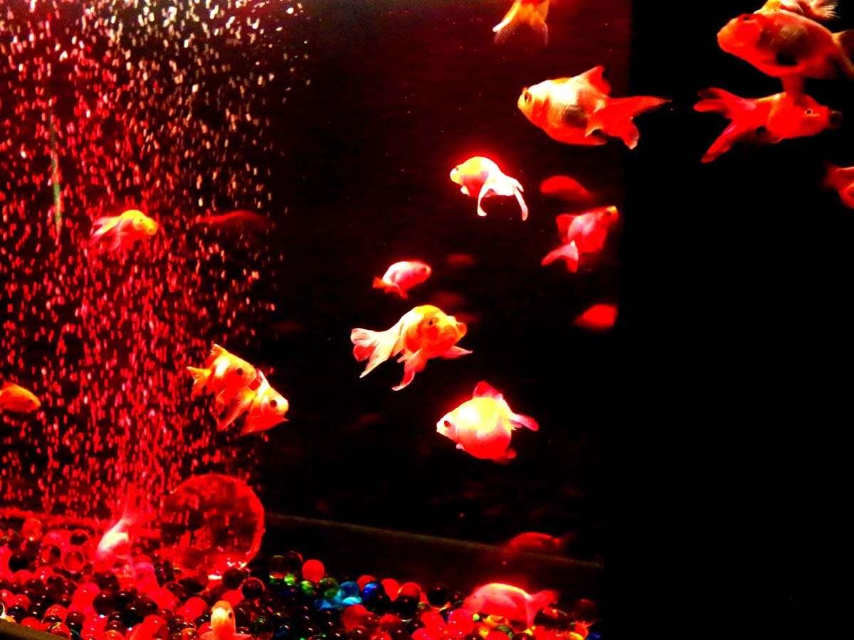 金魚のアクアリウム