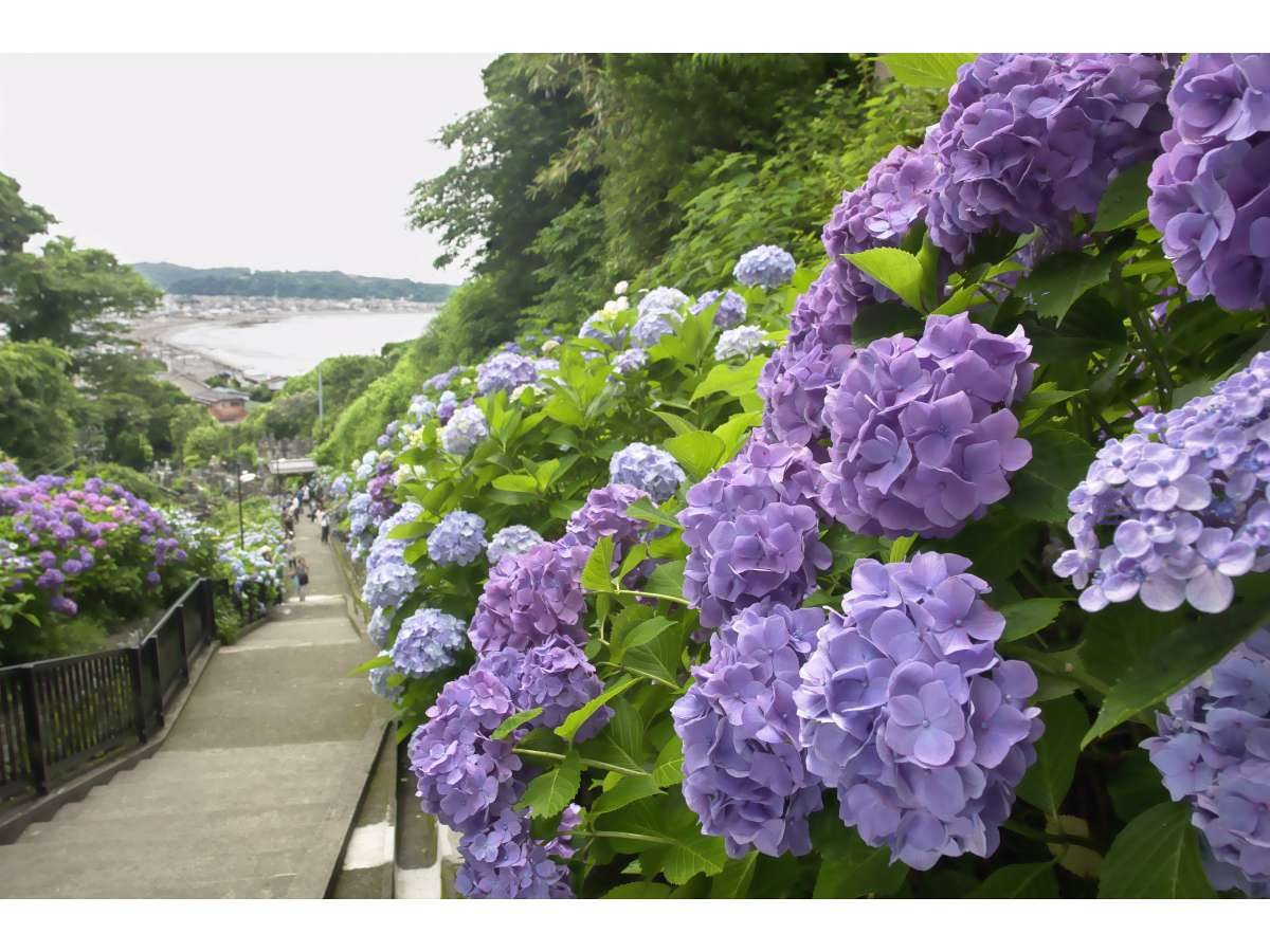 【あじさい】鎌倉エリアにはあじさいが綺麗な場所がたくさんあります♪