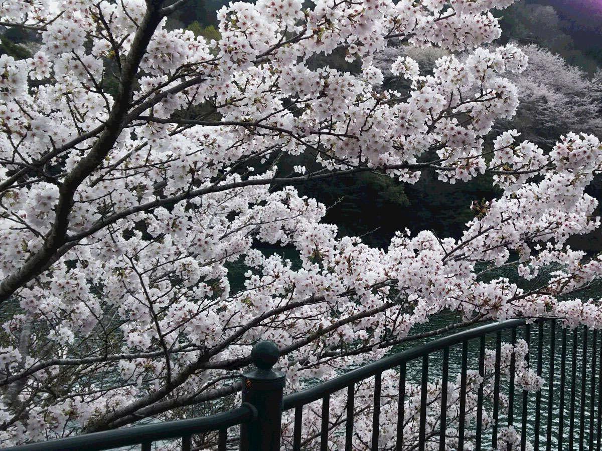 【もみじ川温泉周辺のさくら】川沿いに美しい桜を見ることができます。