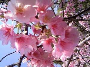 2月ころの伊豆高原駅周辺の大寒桜、