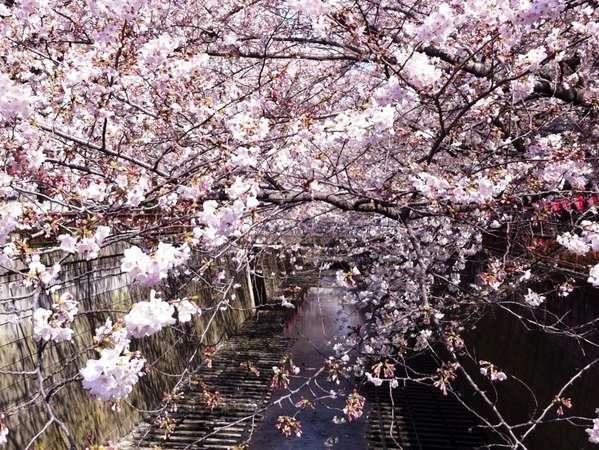 目黒川の桜 …ホテルから2分