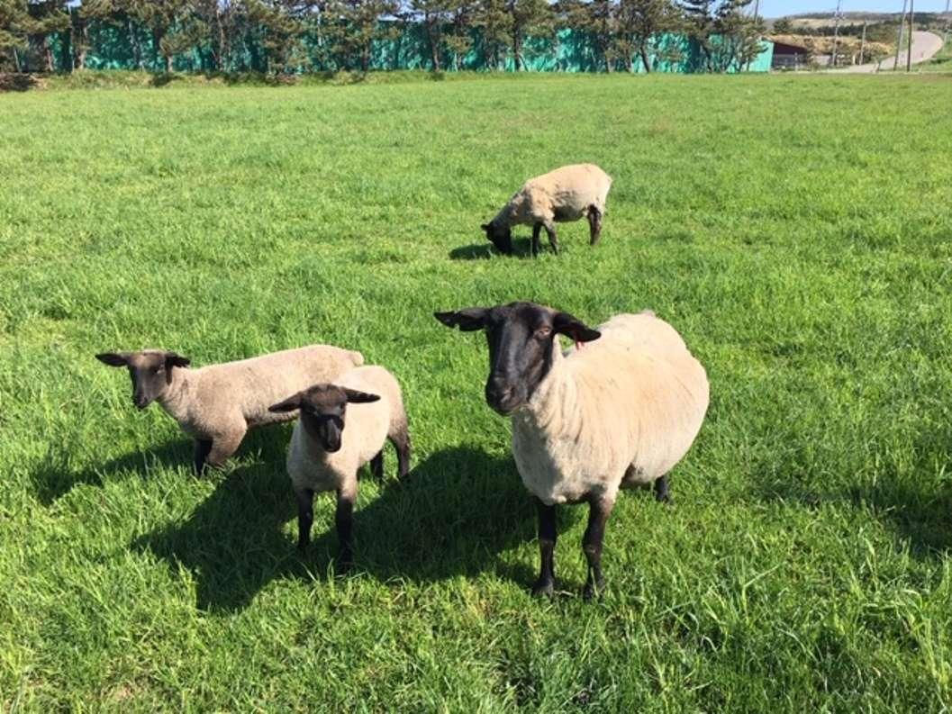 拓美ファーム羊たち