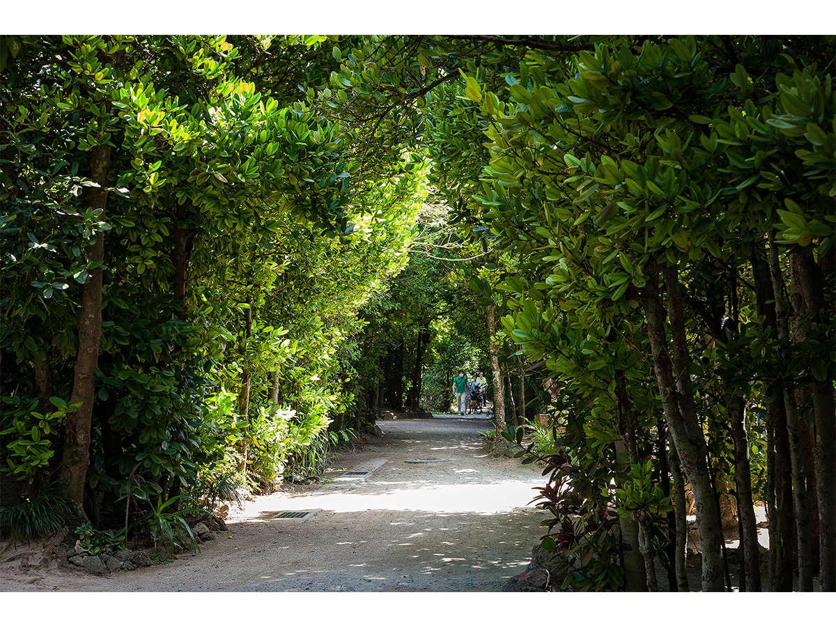 美しい備瀬のフクギ並木、フクギの巨木がトンネルのように続きます。