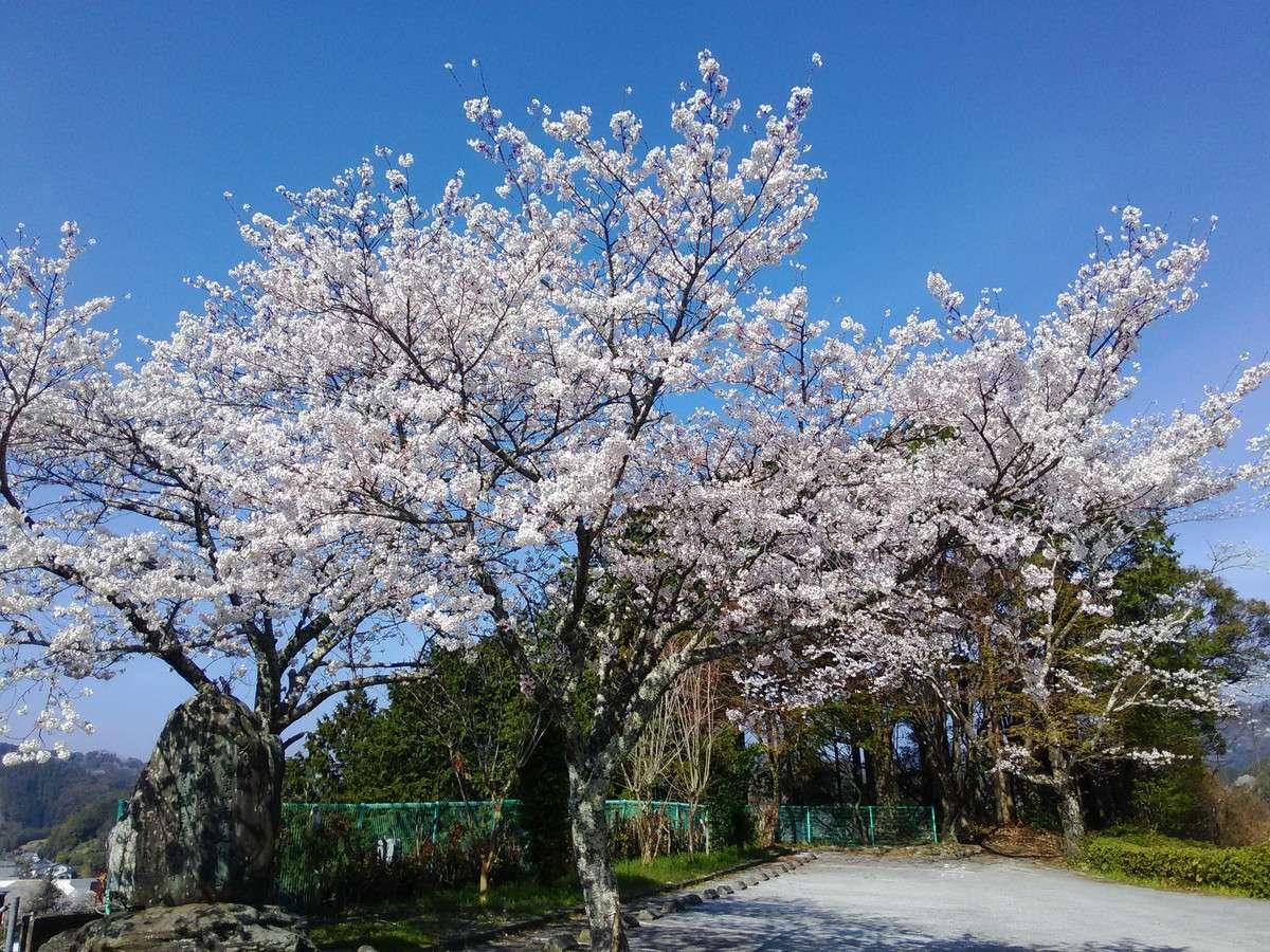 桜満開時(過去の様子です)