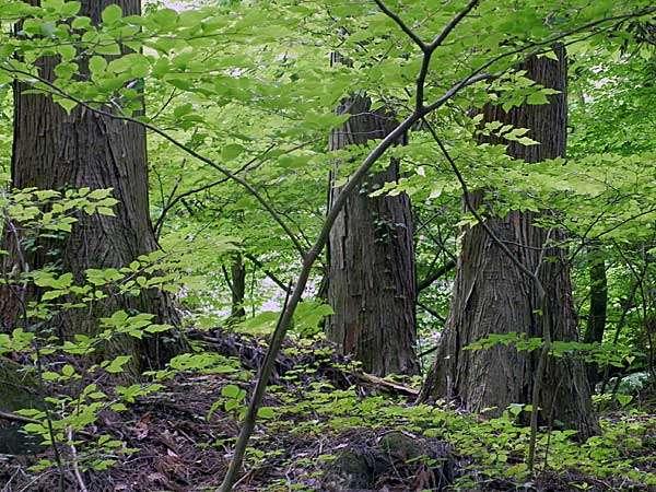 森林浴 ヒノキ