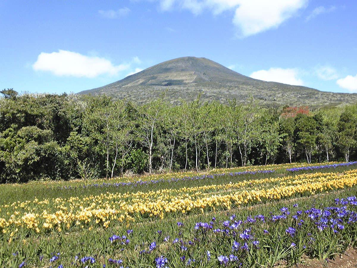 *八丈島フレージアまつり(一例)花がいっぱい咲き乱れます♪