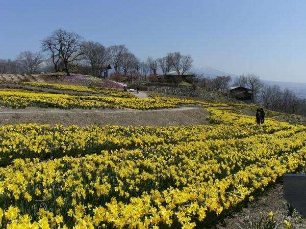 【信州国際音楽村・すいせん】見頃は4月初旬頃。当館より車で20分ほど