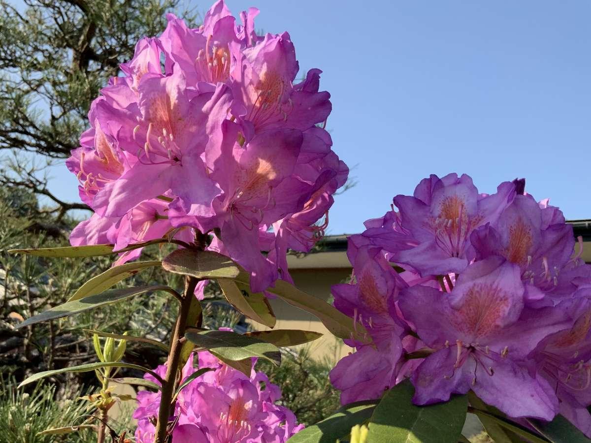 玄関先のシャクナゲ見ごろは五月中旬です。和の中に優しいピンク色のシャクナゲがお出迎え