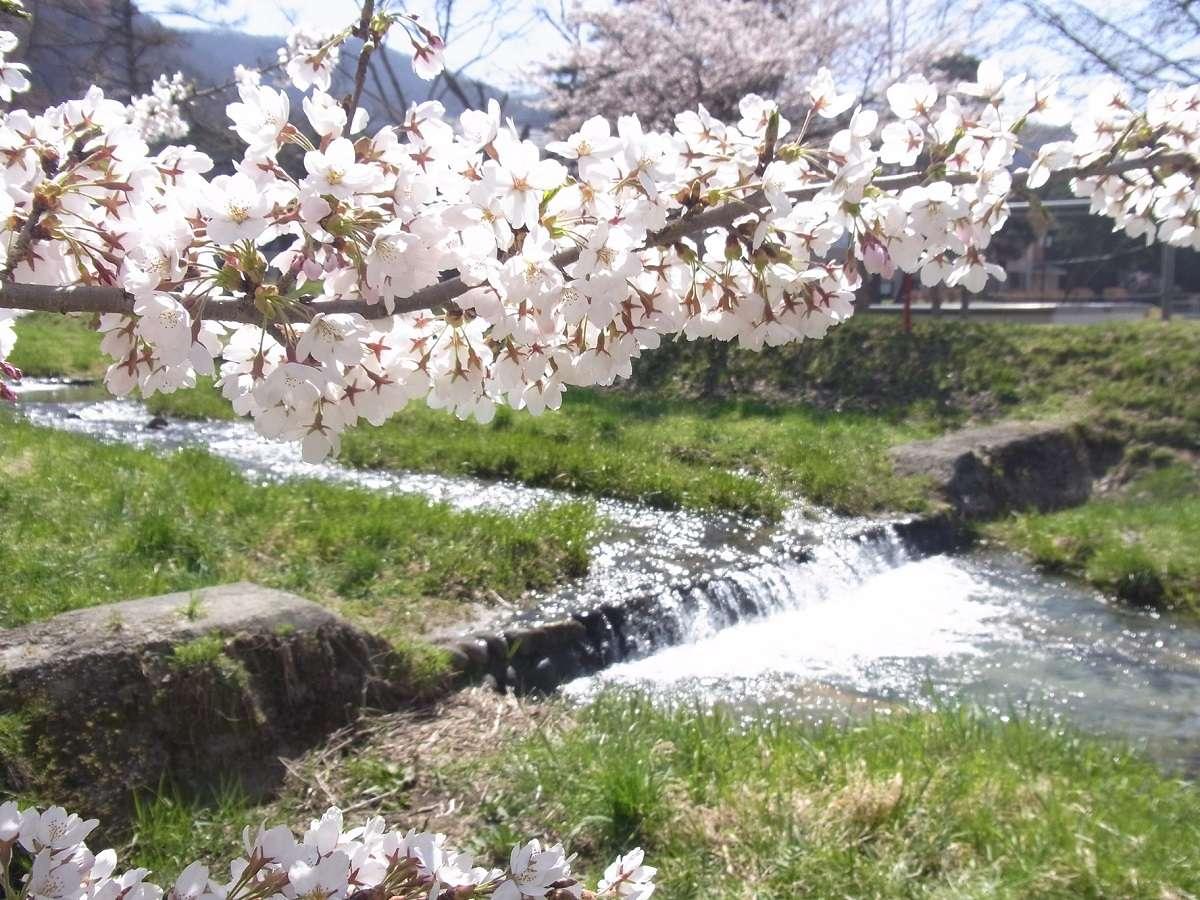 観音寺川の桜≪4月中旬~5月上旬≫