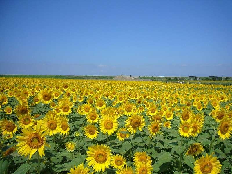 【柳川ひまわり園】例年見頃:7月中旬~下旬、当宿から車で約15分