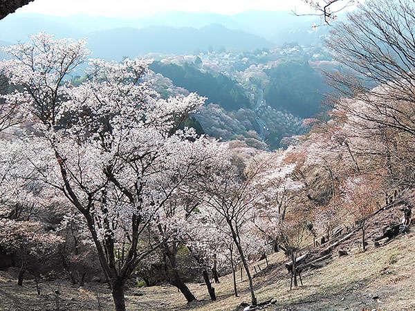 ■吉野山2018年4月4日頃の中千本