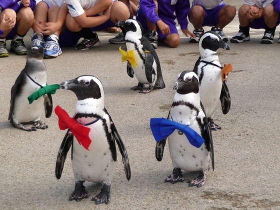 【松江フォーゲルパーク】とってもかわいいペンギンのお散歩タイムです*