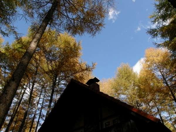 宿のまわり、カラマツ林の色づきと青い空