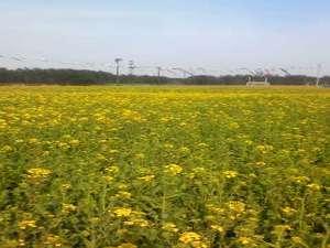 大潟村の菜の花畑