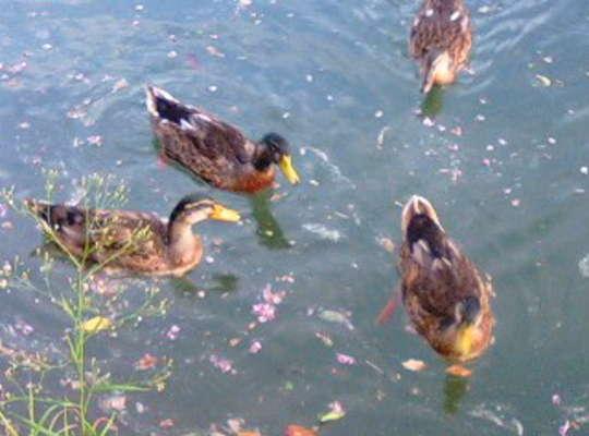 嬉野川の遊歩道では合鴨達がお出迎え