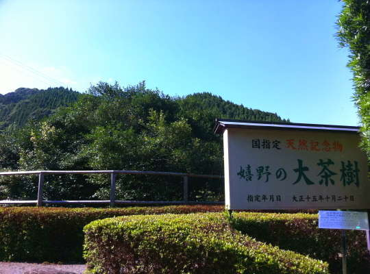 樹齢340年をゆうに越える国の天然記念物の大茶樹