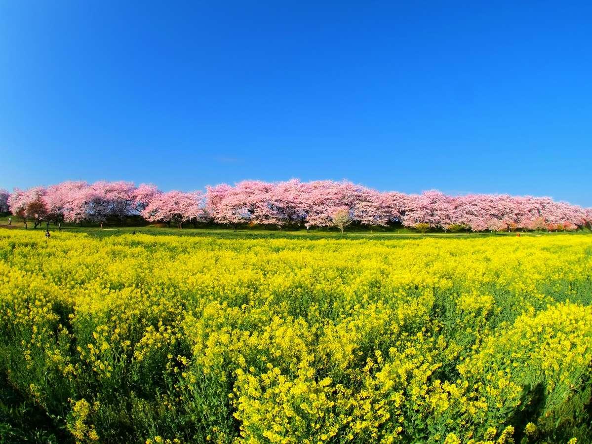 桜と菜の花、アジサイや曼珠沙華など、四季折々のお花が咲き誇る観光名所の権現堂(幸手市)