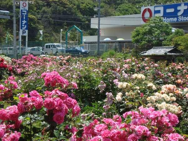 白浜町の入り口に、バラが咲き誇っています(5/20撮影)