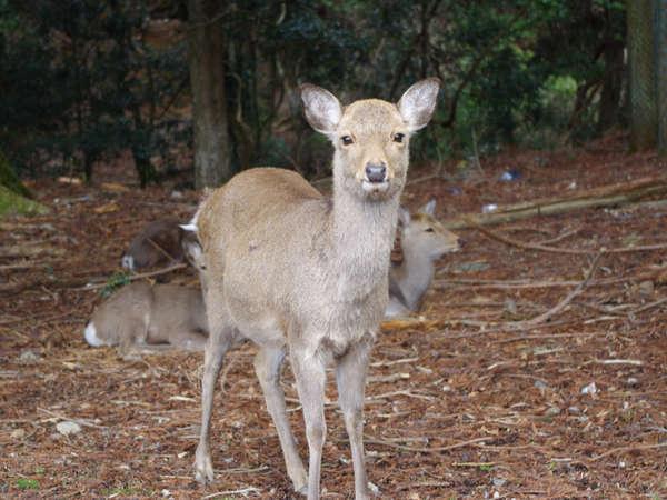 奈良と言えば…鹿!近くでたくさん見れます