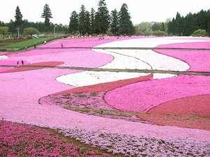 羊山公園の芝桜!4月中旬~見ごろに!